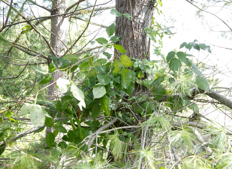 poison ivy plant fall. poison ivy plant images.